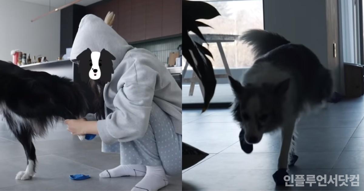 """전용 신발 신고 온 몸 굳었다가 망아지처럼 걷는 강아지들 """"이유가 뭐야?"""" (영상)"""